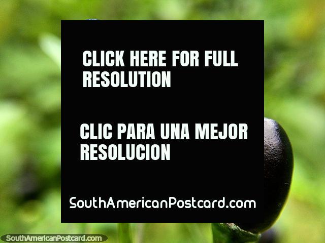Par de diminutas vainas negras, foto macro en el jardín de la Reserva Natural Tinamu en Manizales. (640x480px). Colombia, Sudamerica.