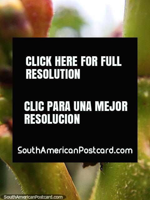 Foto macro em natureza, forma interessante, jardim em Reserva de Natureza Tinamu em Manizales. (480x640px). Colômbia, América do Sul.