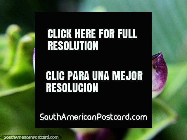 As pétalas purpúreas e brancas despem-se longe, foto macro no jardim na Reserva de Natureza Tinamu em Manizales. (640x480px). Colômbia, América do Sul.