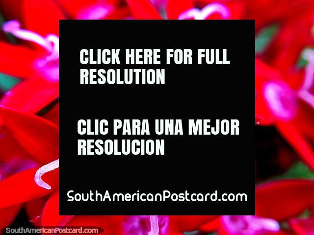 Flores brancas, vermelhas e rosa muito pequenas, uma cama de brilho, foto macro no jardim em Reserva de Natureza Tinamu em Manizales. (640x480px). Colômbia, América do Sul.