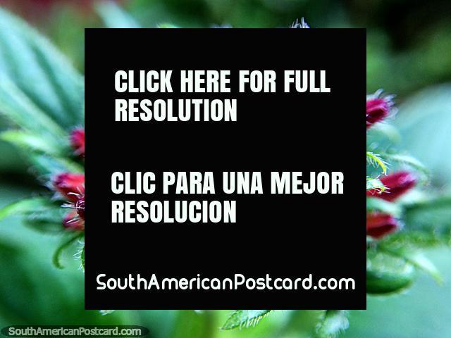 Formación roja y verde hermosa en la naturaleza, foto macro en el jardín en la Reserva de Naturaleza de Tinamu en Manizales. (640x480px). Colombia, Sudamerica.