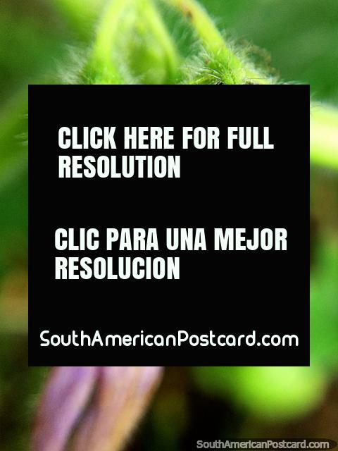 2 vainas púrpuras con pelos blancos, primer plano de la naturaleza, foto macro en el jardín de la Reserva Natural Tinamu en Manizales. (480x640px). Colombia, Sudamerica.