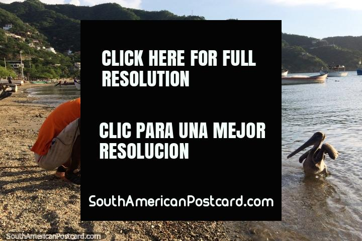 A fisherman fillets fish and feeds scraps to a pair of pelicans on the shores of Taganga. (720x480px). Colombia, South America.