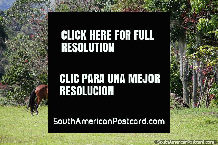 Caballo marrón en un campo rodeado de frondosos árboles y naturaleza en Jardin. (720x480px). Colombia, Sudamerica.