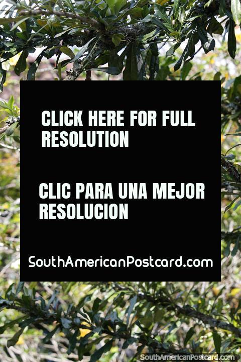 Um grande melão verde pende de uma árvore, descobrindo a natureza em Jardin. (480x720px). Colômbia, América do Sul.