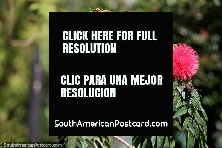 Bola redonda vermelha pontiaguda, uma flor exótica no Caminho da Senhora Ferreiro em Jardin. (720x480px). Colômbia, América do Sul.