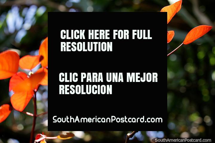 Folhas laranjas brilham ao sol, como gotas de chuva caindo do céu, Jardin. (720x480px). Colômbia, América do Sul.