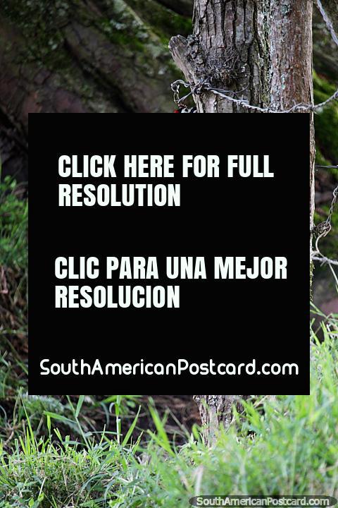 Um pica-pau, uma das muitas aves exóticas que você pode ver enquanto caminha no Jardin. (480x720px). Colômbia, América do Sul.