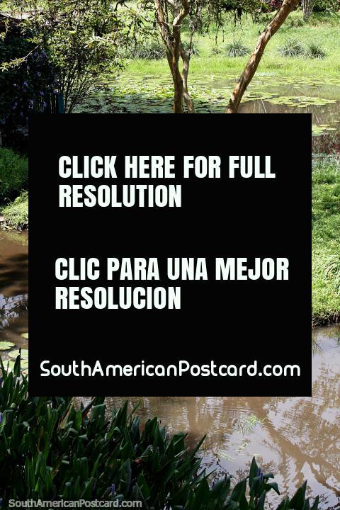 Água e folhas de lírio, muito verde no Jardin no Caminho da Senhora Ferreiro. (480x720px). Colômbia, América do Sul.
