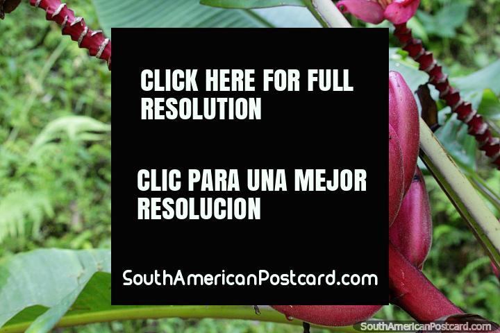 Racimo de plátanos rosados, también conocido como plátano peludo - Musa velutina, Jardin. (720x480px). Colombia, Sudamerica.