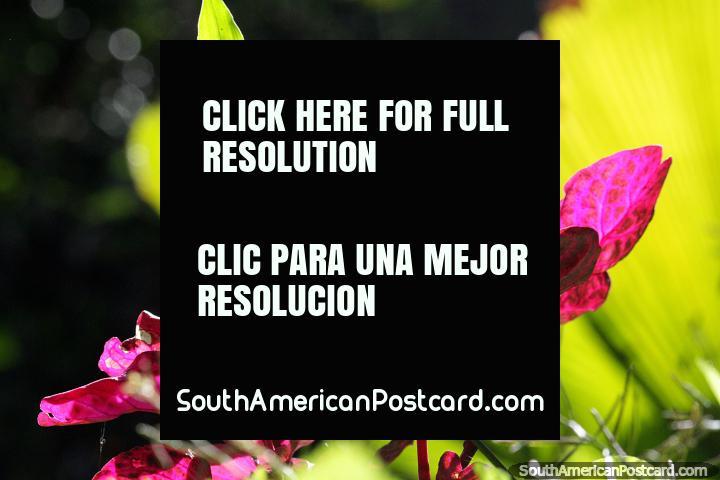 Las hojas rosadas brillan bajo el sol, caminando en la naturaleza en Jardin. (720x480px). Colombia, Sudamerica.