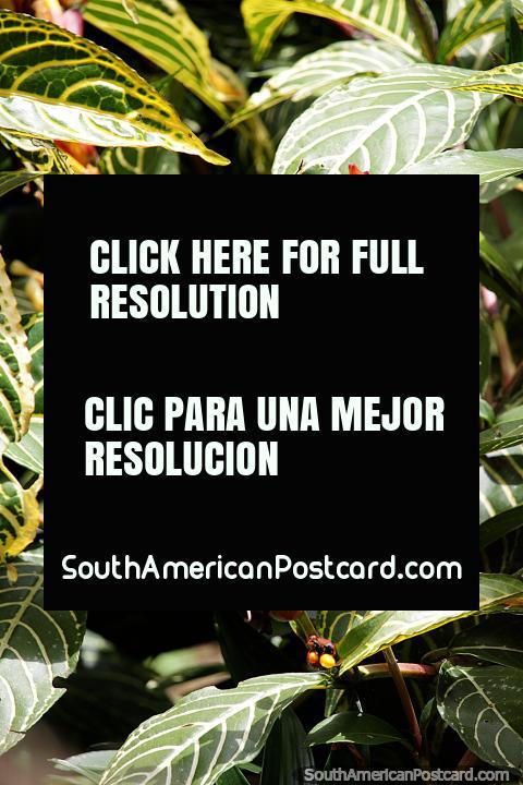 Jardin es un gran lugar para descubrir y disfrutar de la exótica flora, plantas y árboles de la zona. (480x720px). Colombia, Sudamerica.