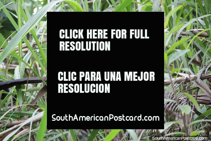 Gran pájaro escondido entre la hierba, mantén los ojos abiertos para ver estos pájaros en Jardin. (720x480px). Colombia, Sudamerica.