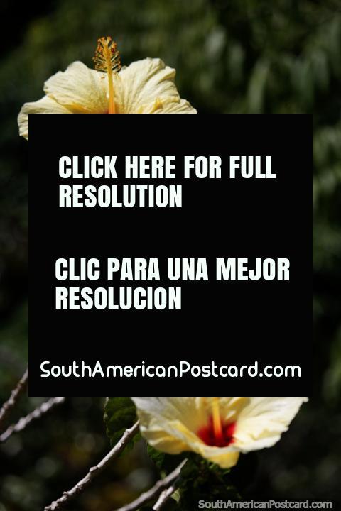 Flores amarelas desabrocham no Parque Caldas em Popayan. (480x720px). Colômbia, América do Sul.