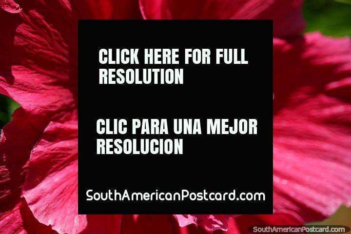 Flor vermelha com interior amarelo com almofadas vermelhas redondas, Parque Caldas, Popayan. (720x480px). Colômbia, América do Sul.