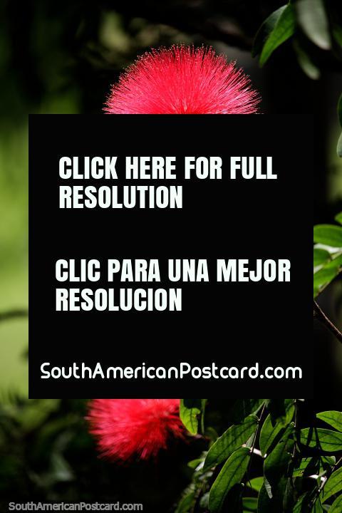 Flor roja mullida y puntiaguda en jardines cerca del puente en Popayán. (480x720px). Colombia, Sudamerica.