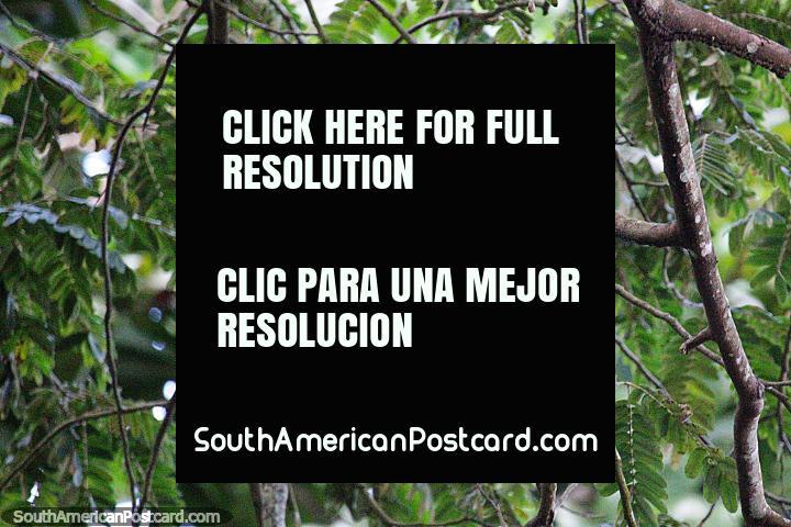 Pájaro rojo brillante en un árbol, disfruta de la naturaleza en el parque de Montería. (720x480px). Colombia, Sudamerica.