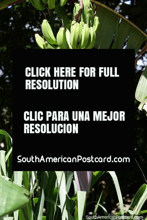 Bananas com uma videira segurando um pêndulo roxo crescendo no parque em Monteria. (480x720px). Colômbia, América do Sul.