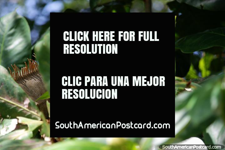 Una iguana muy guapa busca las hojas más verdes para comer en Montería. (720x480px). Colombia, Sudamerica.