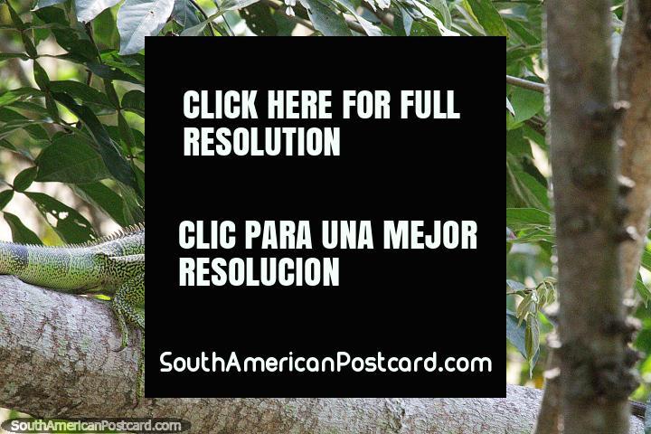 Lagarto verde grande ou uma iguana bebê? Parque Ronda del Sinu, Monteria. (720x480px). Colômbia, América do Sul.