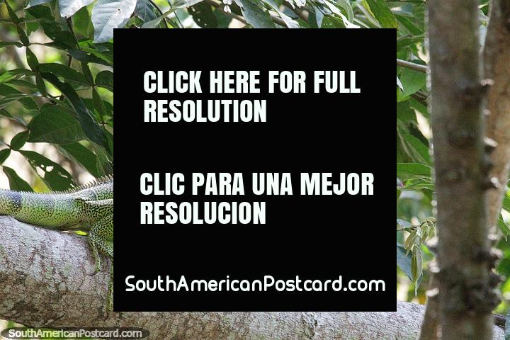 Large green lizard or a baby iguana? Parque Ronda del Sinu, Monteria. (720x480px). Colombia, South America.