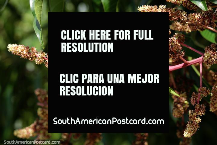 Botões florais muito delicados e fofos deste avião no Parque Ronda del Sinu, Monteria. (720x480px). Colômbia, América do Sul.