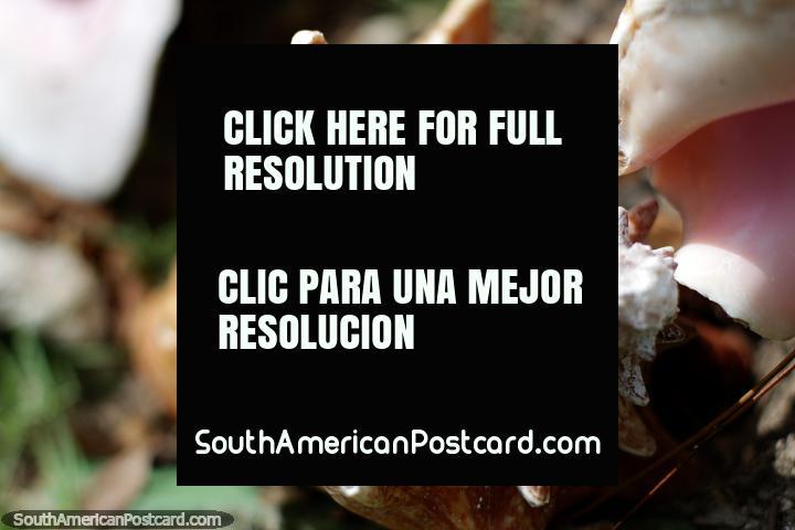 Concha grande, você pode andar por aí coletando conchas enquanto estiver na Ilha Tintipan. (720x480px). Colômbia, América do Sul.