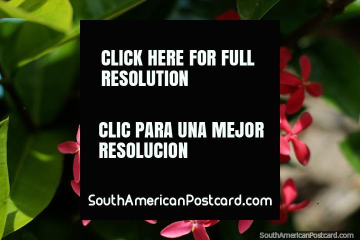 Pétalas e flores de rosa, o clima tropical incentiva a bela flora da Ilha Tintipan. (720x480px). Colômbia, América do Sul.