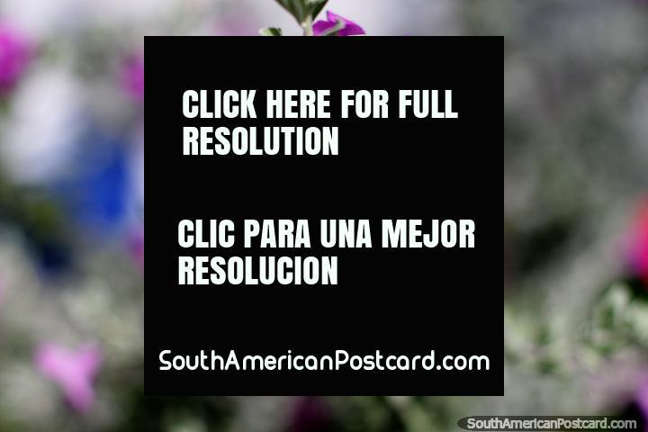 As flores roxas florescem no calor tropical na Ilha Tintipan, na costa norte. (720x480px). Colômbia, América do Sul.