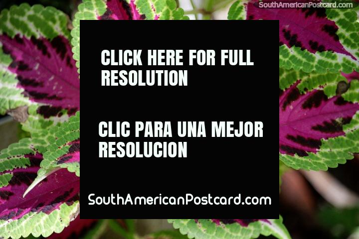 Green leaves with pink interior and nice texture, colorful flora in Minca. (720x480px). Colombia, South America.