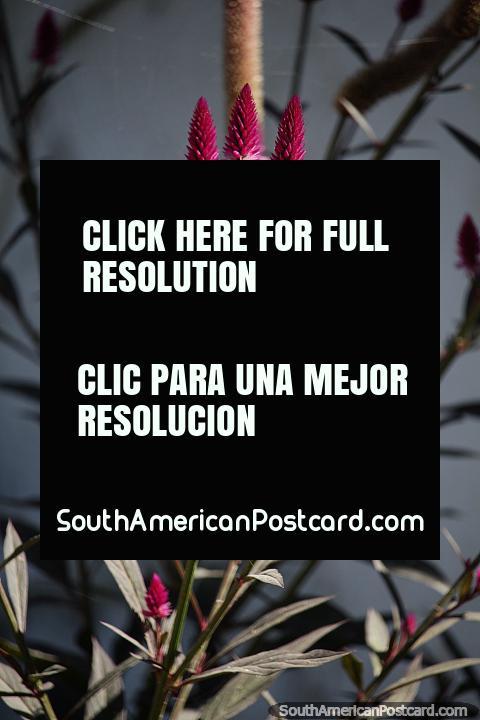 Flor asombrosa e interesante, en forma de tubo con punta morada, jardines en Minca. (480x720px). Colombia, Sudamerica.