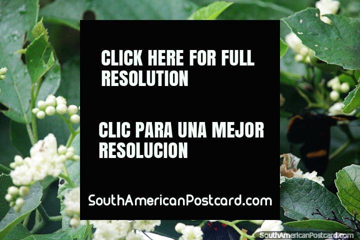 Borboletas e flores vistas ao lado do Rio Magdalena em Neiva. (720x480px). Colômbia, América do Sul.