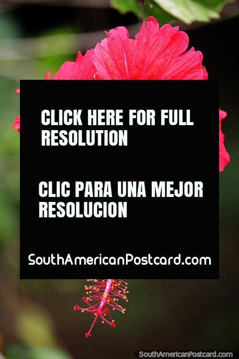 Delicado caule e ponta de uma flor vermelha brilhante em Florencia. (480x720px). Colômbia, América do Sul.