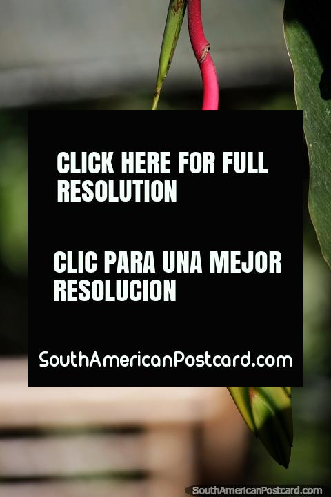 Flor exótica de color rojo, amarillo y verde en el Parque Arqueológico San Agustín. (480x720px). Colombia, Sudamerica.