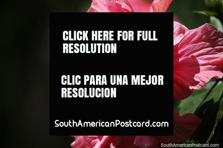 Hermosa flor rosa con interior amarillo, naturaleza en el Parque Arqueológico San Agustín. (720x480px). Colombia, Sudamerica.