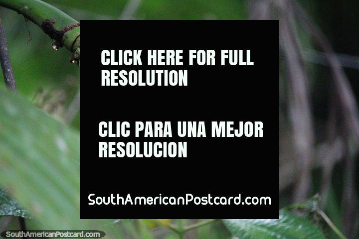 Planta verde con forma de mazorca de maíz, explorar Mocoa en busca de naturaleza interesante en el sur. (720x480px). Colombia, Sudamerica.
