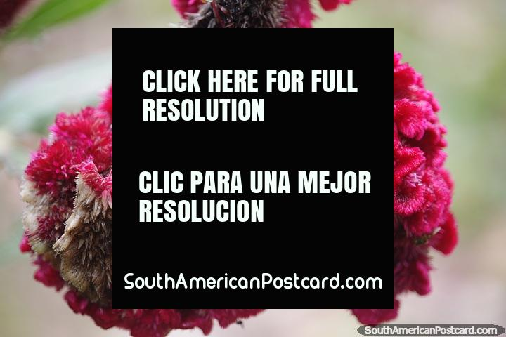 Textura e formato incríveis desta flor cor de vinho em Mocoa. (720x480px). Colômbia, América do Sul.