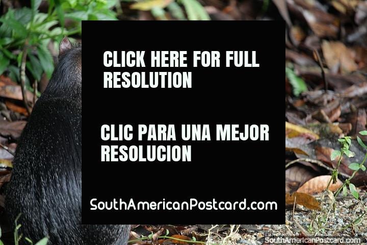Wild rodent, creature in the forest at CEA (Centro Experimental Amazonico) in Mocoa. (720x480px). Colombia, South America.