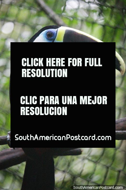 Tucano com seu bico comprido, visto no CEA (Centro Experimental Amazonico) em Mocoa. (480x720px). Colômbia, América do Sul.