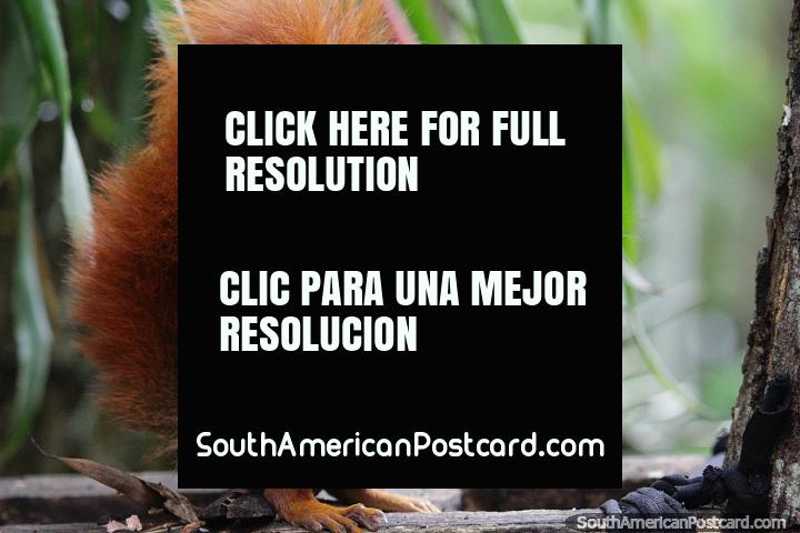 El Gallineral Natural Park in San Gil is where you will see squirrels in the trees. (720x480px). Colombia, South America.