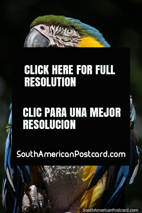 Macaw, blue, green and yellow at El Gallineral Natural Park in San Gil. (480x720px). Colombia, South America.
