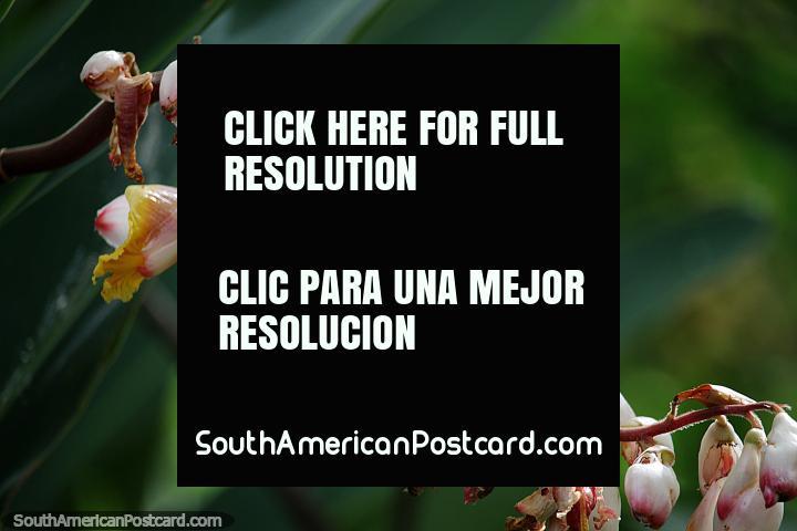 Linda flor amarela e laranja com outros botões prontos para florescer perto do rio em San Gil. (720x480px). Colômbia, América do Sul.