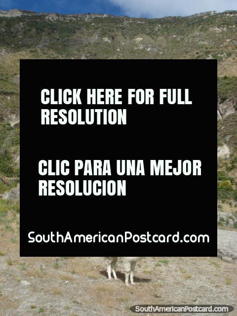 The llama of Quilotoa Laguna. (480x640px). Ecuador, South America.