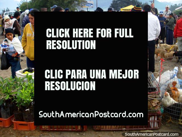 Animales y animales domésticos para venta en el mercado de animal de Otavalo. (640x480px). Ecuador, Sudamerica.