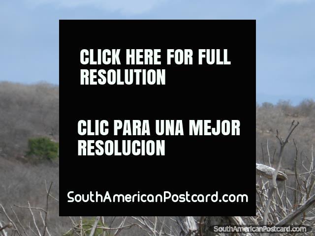 Un Bobo con los pies azules en Isla de la Plata. (640x480px). Ecuador, Sudamerica.