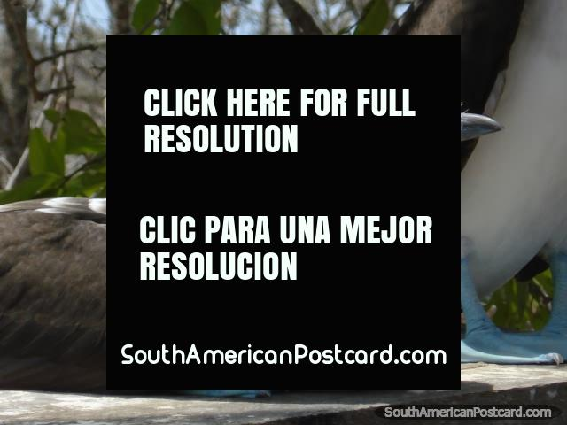 Close-up of Blue-Footed Booby on Isla de la Plata. (640x480px). Ecuador, South America.