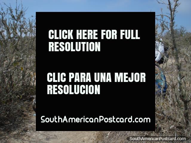It's possible to get closeup to the birds on Isla de la Plata. (640x480px). Ecuador, South America.