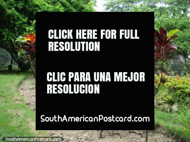 Dark red leaves of plants at the Botanical Gardens in Portoviejo. (640x480px). Ecuador, South America.