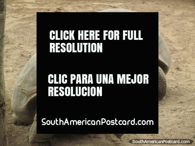 A pair of Galapagos Tortoises at Quito Zoo in Guayllabamba. (640x480px). Ecuador, South America.