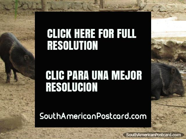 Collared Peccaries, bristly pig-like animals at Quito Zoo. (640x480px). Ecuador, South America.